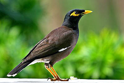 Mynah-Bird-Picture